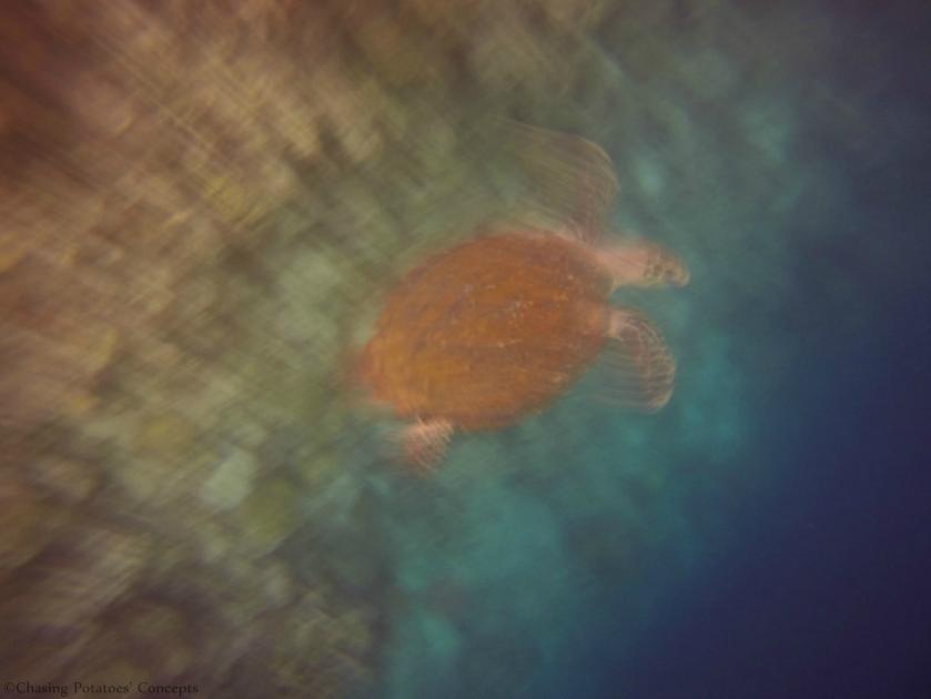Hale Manna - Turtle