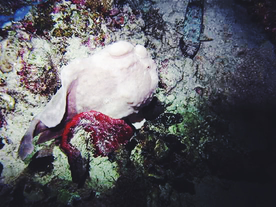 The Pursuit of Mr. Frog Fish